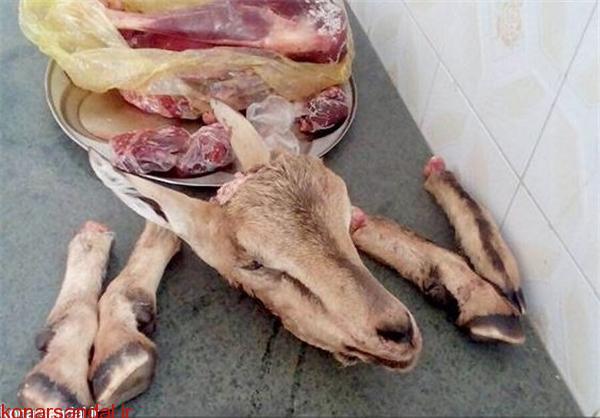 سلاخی گونههای جانوری در سایه سکوت مسئولان+عکس کشف لاشه یک بز وحشی در جیرفت