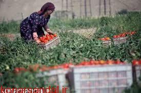 معاون جهاد کشاورزی جنوب کرمان عنوان کرد: کشاورزان از کشت بیرویه محصولاتی مانند سیبزمینی، پیاز، گوجهفرنگی و هندوانه خوداری کنند