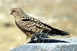 بازگرداندن پرنده ی شکاری به دامان دشت های قلعه گنج