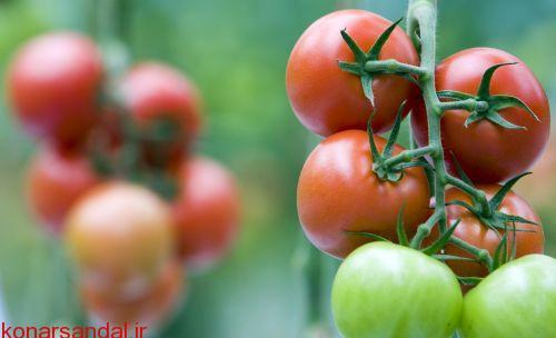 HONSELERSDIJK - In de kas bij Tomato World worden diverse soorten en kleuren tomaten gekweekt. ANP PHOTO XTRA LEX VAN LIESHOUT