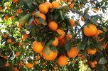 محصولات کشاورزی و باغی جیرفت و جنوب کرمان به روایت تصاویر