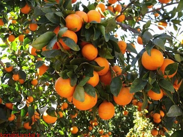 tangerine-5
