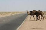 تا کی مردم قربانی شترهای رها شده در جاده ها باشند؟!