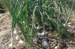 کشاورزان جنوب کرمان به کشت پیاز ادامه ندهند، عدم رعایت الگوی کشت موجب ضرر خواهد شد