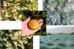 راهکارهای لازم جهت پیشگیری از آفتابسوختگی درختان مرکبات در جنوب کرمان / به قلم دکتر ذبیحالله اعظمی، عضو هیات علمی بخش گیاهپزشکی دانشگاه جیرفت