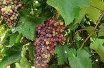 انگور یاقوتی دهم اردیبهشت ۱۴۰۰ در منطقه کهنوج